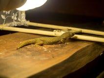 Les lézards viennent pour manger des insectes photo stock