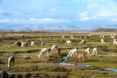 Les lamas et les alpaga sont près d'Arequipa, Pérou Photos stock