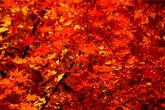 Les lames d'automne effectuent un lavage du rouge Image stock