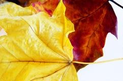 Les lames d'automne se ferment vers le haut Image libre de droits