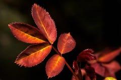 les lames plantent les jeunes roses Photo libre de droits