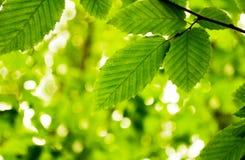 Les lames vertes du tilleul Photographie stock
