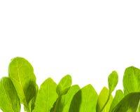 Les lames vertes ont isolé le fond Photos libres de droits