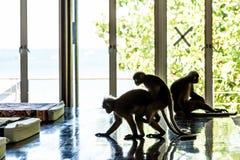 Les Langurs sautent par-dessus l'un l'autre Trois singes dans la chambre pour la station thermale Accouplement de deux singes On  image stock