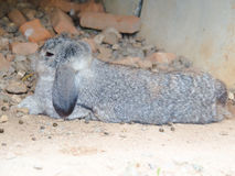 Les lapins Photos stock