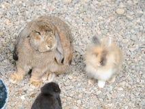 Les lapins Images libres de droits
