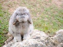 Les lapins Image libre de droits