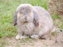 Les lapins Photo libre de droits