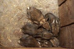 Les lapins de bébés dans un nid chaud de laine ont pressé les uns contre les autres photo libre de droits