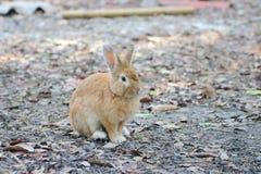 Les lapins de Brown sont dans le sauvage Photographie stock