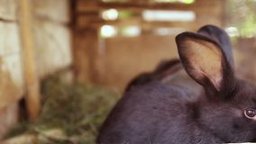 Les lapins noirs et gris mignons sautent dans une cage Animaux de ferme croissants banque de vidéos