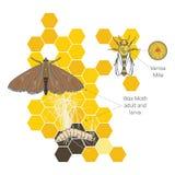Les larves de mite de cire sur une abeille infectée nichent le cadre terrible d'abeille de cire mangé par des parasites Acarides  illustration libre de droits