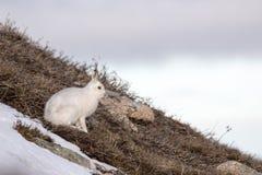Les lièvres de montagne avec l'hiver enduisent dans le mélange de la neige et de la terre nue Photographie stock