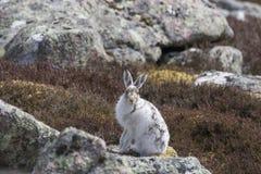 Les lièvres de montagne avec l'hiver enduisent dans le mélange de la neige et de la terre nue Photographie stock libre de droits