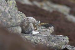 Les lièvres de montagne avec l'hiver enduisent dans le mélange de la neige et de la terre nue Photos stock