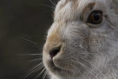 Les lièvres de montagne avec l'hiver enduisent en terre nue Image stock