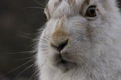 Les lièvres de montagne avec l'hiver enduisent en terre nue photographie stock
