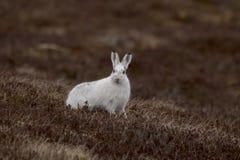 Les lièvres de montagne avec l'hiver enduisent en terre nue Photos libres de droits