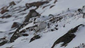 Les lièvres de montagne, timidus de Lepus, consommation, rayant sur la neige ont couvert la pente en parc national de pierre de C clips vidéos