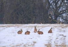 Les lièvres groupent dans un pré épousseté par neige au printemps Photos libres de droits