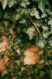 Les lianes couvrent un mur, usines de lierre photographie stock
