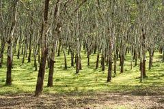 Les lifes de plantation en caoutchouc, fond de plantation en caoutchouc, les arbres en caoutchouc en Thaïlande verdissent le fond Photos libres de droits