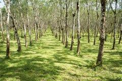 Les lifes de plantation en caoutchouc, fond de plantation en caoutchouc, les arbres en caoutchouc en Thaïlande verdissent le fond Images libres de droits