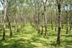 Les lifes de plantation en caoutchouc, fond de plantation en caoutchouc, les arbres en caoutchouc en Thaïlande verdissent le fond Photographie stock libre de droits