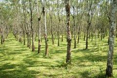 Les lifes de plantation en caoutchouc, fond de plantation en caoutchouc, les arbres en caoutchouc en Thaïlande verdissent le fond Image libre de droits