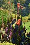 Les lilys de Canna ont fleuri au parc d'état d'acres de rivage en Orégon image libre de droits