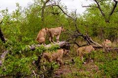 Les lionnes vont à la chasse pour la nourriture Photographie stock libre de droits