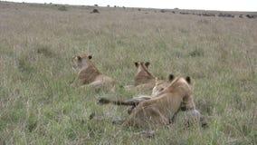 Les lions chasse avec succès un gnou banque de vidéos