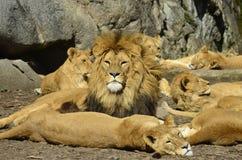 Les lions les prend un bain de soleil Photo libre de droits