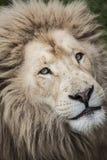 Les lions regardent fixement vers le haut de la fin Photographie stock libre de droits