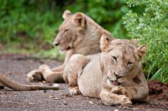 Les lions se glorifient sous la pluie Image stock