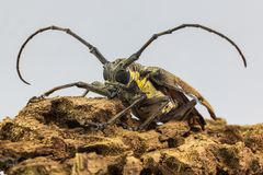 Les longs insectes de frelons dans le forum de sauterelle photo stock