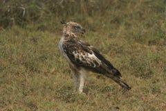 Les longues distances, yeux de lynx, la cible de photo, Hawk Eagle crêté, longue crête droite, monte rarement, appartement d'aile photo libre de droits