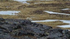 Les loups arctiques, le loup fonctionne au troupeau, essayant de rincer le faible ou le lent Canada du nord images libres de droits