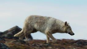 Les loups arctiques, le loup fonctionne au troupeau, essayant de rincer le faible ou le lent Canada du nord photographie stock libre de droits