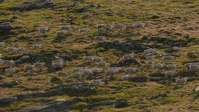 Les loups arctiques, le loup fonctionne au troupeau, essayant de rincer le faible ou le lent Canada du nord photos libres de droits