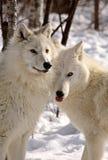 Les loups arctiques se ferment ensemble en hiver photo stock