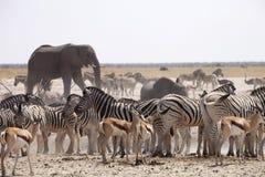 Les éléphants et les troupeaux de zèbre et d'antilope attendent par la chaleur de midi au point d'eau Etosha, Namibie Image stock