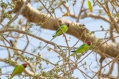 Les mâles à tête de prune de perruche s'assemblent photos stock