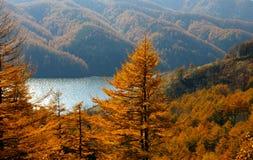 Les mélèzes d'automne et le lac de montagne. Photos libres de droits