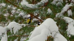 Les mésanges sur un sapin s'embranchent dans la forêt neigeuse clips vidéos