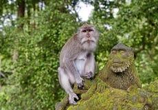 Les macaques taiwanais ou les cyclopis taiwanais de Macaca de rhésus est des espèces des primats de la famille de singe Distribué image libre de droits