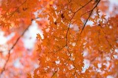 Les macro coordonnées du Japonais Autumn Maple part avec le fond brouillé Image libre de droits