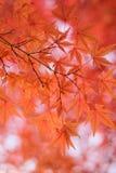 Les macro coordonnées du Japonais Autumn Maple part avec le fond brouillé Photos libres de droits