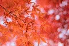 Les macro coordonnées du Japonais Autumn Maple part avec le fond brouillé Photos stock