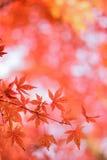 Les macro coordonnées du Japonais Autumn Maple part avec le fond brouillé Photo libre de droits